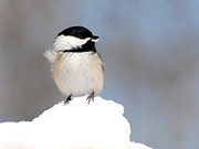 Ny Ny Digital Art Posters - Black-Capped Chickadee Christmas Art Poster by Christina Rollo