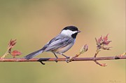 Black And White Pyrography Posters - Black Capped Chickadee in Spring Poster by Daniel Behm