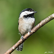 Jeff Goulden - Black Capped Chickadee