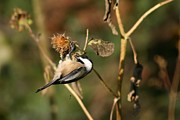 John Dart - Black Capped Chickadee
