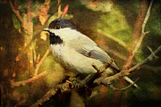 Bird Greeting Cards Prints - Black Capped Chickadee Print by Lianne Schneider