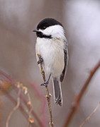 Birds Prints - Black-capped Chickadee Print by Mike Dickie