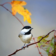 Nava Jo Thompson - Black-capped Chickadee