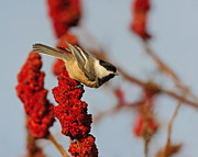 Bird Song Prints - Black-capped Chickadee on Sumac Print by Tony Beck