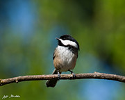 Jeff Goulden - Black Capped Chickadee...