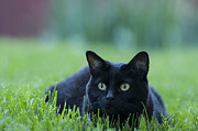 Animal Photos - Black Cat by Juli Scalzi