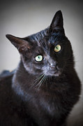 Felines Photo Posters - Black cat portrait Poster by Elena Elisseeva