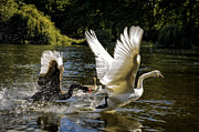 Flying Swan Photos - Black Chases White by Paul W Sharpe Aka Wizard of Wonders