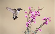 Hummingbird Pyrography Acrylic Prints - Black Chinned Hummingbird Acrylic Print by Daniel Behm