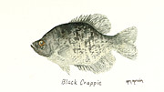 Crappie Framed Prints - Black Crappie Framed Print by Ken Marsden