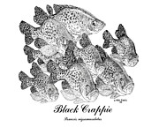 Crappie Posters - Black Crappie-Poxomis nigromaculatus Poster by Mike Howell