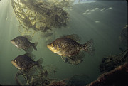 Black Crappie Trio Print by Eric Engbretson