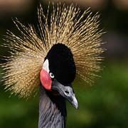 Nick  Biemans - Black Crowned Crane