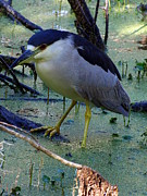 Great Blue Heron Black And White Posters - Black Crowned Night Heron 005 Poster by Christopher  Mercer