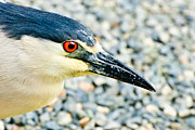 Black Crowned Night Heron 2 Print by  Bob and Nadine Johnston