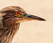 Orange And Brown Wings Prints - Black Crowned Night Heron 4 Print by Nadine and Bob Johnston