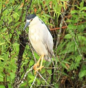 Everglades National Park Posters - Black Crowned Night Heron Poster by Adam Jewell
