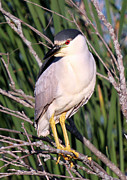 John Dart - Black Crowned Night Heron