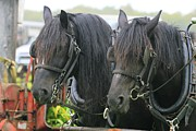 The Agricultural Life Prints - Black Draft Horses in Harness Print by Michael Allen