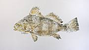 Gyotaku Prints - Black Drum Print by Nancy Gorr