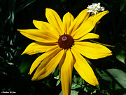 Black Eye Susan Prints - Black Eye Susan and Friend Print by Barbara St Jean