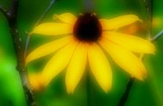 Yellow Flowers Stretched Prints Framed Prints - Black Eye Susan Framed Print by Michael Hoard