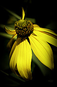 Canvas Wall Print Prints - Black Eyed Susan 3 Print by Julie Palencia