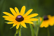 Close Up Floral Framed Prints - Black Eyed Susan Framed Print by Adam Romanowicz