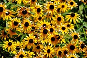 Tree Roses Photos - Black eyed susan  by AK Photography