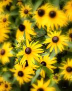 John Pagliuca - Black Eyed Susan blooms
