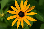 Black Eyed Susan Print Prints - Black Eyed Susan Print by Denyse Duhaime