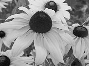 Black Eyed Susan Print Prints - Black Eyed Susan Print by Eric Peterson