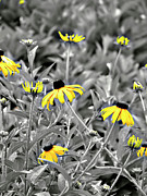 Selective Coloring Posters - Black-Eyed Susan Field Poster by Carolyn Marshall