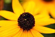 Tiny Leaves Prints - Black-Eyed Susan Flower Print by May L