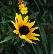 Black Eye Susan Prints - Black-eyed Susan Glows Print by Pamela Briggs-Luther