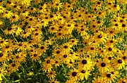 James Hammen - Black-Eyed Susan