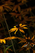 Black Eyed Susan Print Prints - Black Eyed Susan Print by Jennifer Burt