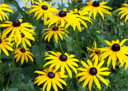 Jim Nelson Art - Black-Eyed Susan by Jim Nelson