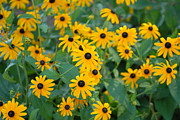Black Eye Susan Prints - Black-Eyed Susan Print by Jt PhotoDesign