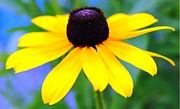 Blank Greeting Cards Prints - Black Eyed Susan Print by Judy Palkimas