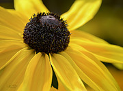 Rudbeckia Hirta Framed Prints - Black Eyed Susan Framed Print by Julie Palencia