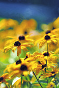 Black Eyed Susan Print Prints - Black Eyed Susan Print by Leatha Robinson