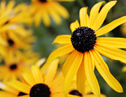 Black Eyed Susan Print Prints - Black Eyed Susan Print by Melissa Petrey