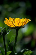 Seimagesonline Prints - Black Eyed Susan Print by Sharon Elliott
