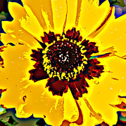 Black Eyed Susan Print Prints - Black Eyed Susan  Print by Sheri McLeroy