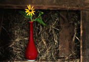 Old Barns Framed Prints - Black Eyed Susan - Still Life Framed Print by Thomas Schoeller
