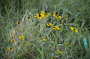 Bill Cannon - Black Eyed Susans at...
