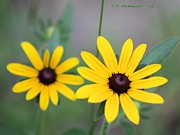 Carolyn Postelwait - Black Eyed Susans