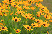David Simons Prints - Black Eyed Susans Print by David Simons