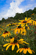 Autumn Farm Scenes Posters - Black-eyed Susans Poster by Debra and Dave Vanderlaan